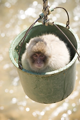 Nagano Snow Monkey in a bucket (Mark Klotz) Tags: travel winter snow japan tokyo bucket kyoto cheeky onsen monkeys matsumoto nagano hotsprings primates honshu suzaka markklotz bokehphotooftheday markinjapan