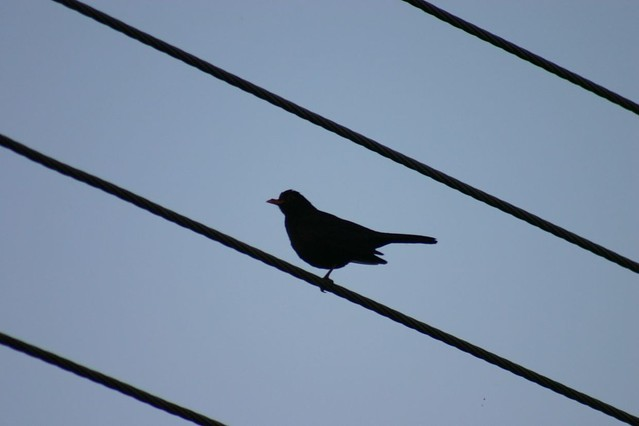Blackbird on a wire