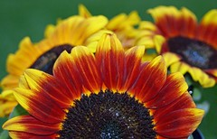 Summer dreams (amsrun) Tags: red summer orange brown macro green yellow sunflowers notpicked