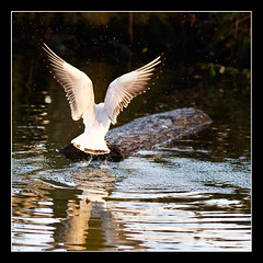 _MG_1209 - Leap (fleetingphotons) Tags: uk 15fav lake 20d water birds 1025fav reading university seagull splash berkshire readinguniversity christmasday2005 sigma150mmf28macro