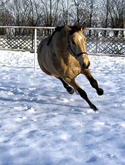 What horses don't do: 4. Speed-skate (Dan65) Tags: horse horses kinsky funny dun buckskin snow winter pferd falbe
