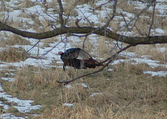 Wild Turkeys - image by dobak. Click for a better view.