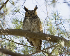 The Great Horned Stare-Down (martytdx) Tags: male topf25 birds ilovenature 500v20f lifelist topv999 100v10f 2550fav ra