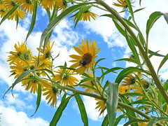 Sunflowers in the Sky! (dee_r) Tags: summer sky nature beautiful clouds bees bee sunflowers sunflower fcsky skyascanvas