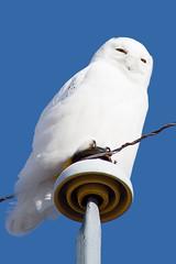 Snowy Owl - by Chris & Lara Pawluk