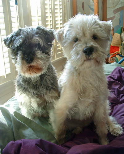 two little schnauzers