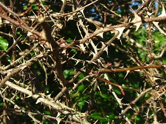 Thorn bush by Elsie esq. on Flickr