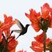 Beija-flor Tesoura (Eupetomena macroura) - Swallow-tailed hummingbird 155