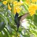 Beija-flor Tesoura (Eupetomena macroura) - Swallow-tailed Hummingbird 2293 - 7