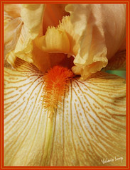 iris2 (TexasValerie) Tags: iris orange white flower macro yellow petals botany okeefe beardediris gynecology