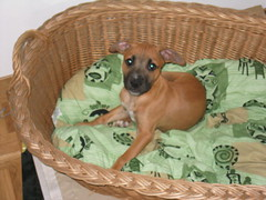 My baby when he was tiny (Nyom) Tags: dog pitbull amstaff