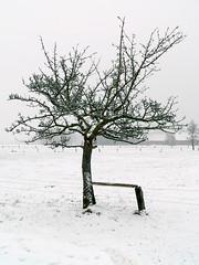 Bäumchen (oefe) Tags: schnee winter white snow tree mrjackfrost germany deutschland weis oneyear baum westfalen ostwestfalen bäumchen encomun versmold