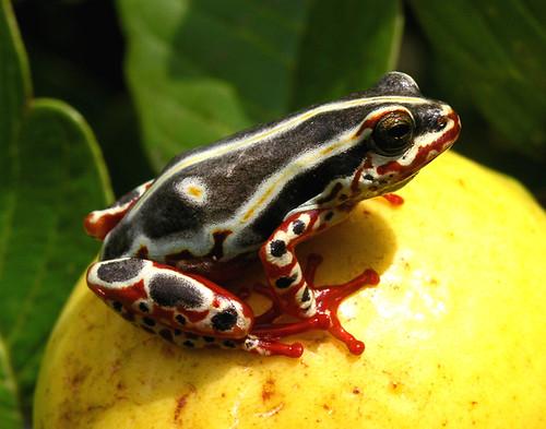 Congo Tree Frog by Nick Hobgood