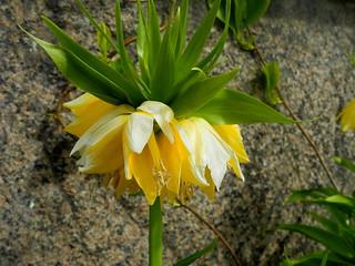 Fritillaria imperialis 'Lutea' (Liliaceae) (Kaisaniemi Botanic Garden, Helsinki, 20150506)