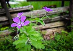 Geranium, Vreta, June 7, 2015 (Ulf Bodin) Tags: fence se sweden sverige vreta hammarskog woodcranesbill geraniumsylvaticum midsommarblomster woodlandgeranium gärdesgård uppsalalän