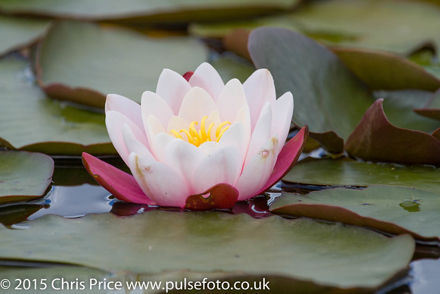 Water Lilly, Hatchet Moor, New Forest