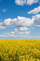 Countryside scenery (Infomastern) Tags: sky cloud field landscape countryside skne himmel raps canola landskap moln rapefield flt