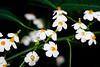 CW228 Longwood Gardens Flowers (listentoreason) Tags: usa white plant flower color nature america canon unitedstates pennsylvania favorites places longwoodgardens magnoliophyta angiosperm ef28135mmf3556isusm score30 plantpart