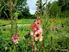 Verbascum 'Cotswold Beauty'