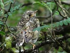 Mistle Thrush fledgling Turdus viscivorus (davidcawthraw) Tags: devon dartmoor fledgling mistlethrush turdusviscivorus naturescall treeofhonor haytordown