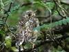 Mistle Thrush fledgling Turdus viscivorus (cawthraw) Tags: devon dartmoor fledgling mistlethrush turdusviscivorus naturescall treeofhonor haytordown