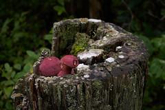 Edible? (labrewin) Tags: statepark nature zeiss forest outdoors 50mm kentucky sony naturalbridge a7 naturalbridgeky zm50mm2