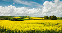 Rape Fields (petefoto) Tags: yellow clouds wiltshire avebury burialmound theridgeway rapefields platinumheartaward