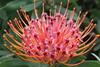 "Leucospermum vestitum - Botanischer Garten Berlin • <a style=""font-size:0.8em;"" href=""http://www.flickr.com/photos/25397586@N00/19581267049/"" target=""_blank"">View on Flickr</a>"