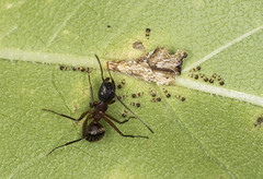 Ant and his Treehopper family (tcat7187) Tags: ant treehoppers