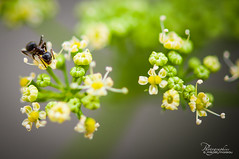 Ant in Parsley Flowers (mika.images) Tags: flowers macro fleurs ant parsley persil fourmi