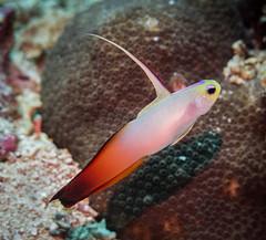 Fire Dartfish (HongKongPhooey2009) Tags: ocean blue sea bali fish macro nature water animal coral canon indonesia underwater hawk dive scuba diving dart nusa goby hawkfish lembongan g16 penida dartfish