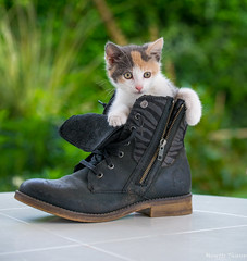 Petit chaton ( Isabelle trois couleurs ) (musette thierry) Tags: composition nikon chat thierry d600 soulier musette