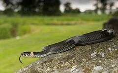 Natrix natrix in habitat 2 (Montivipera) Tags: snake grasssnake fieldherping natrixnatrix natricinae hossmo kalmarln