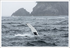 Seward At Sea 201-09 3 (bobcrowe_com) Tags: alaska whales seward select resurrectionbay