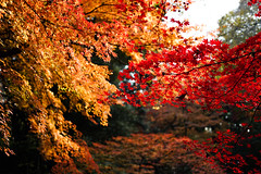 Japanese maple (gshirt1222) Tags: japanesemaple sony a7ii sel50f18f bokeh plant autumncolors autumn 50mm outdoor rikugien