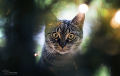 Through the christmas tree (Paula Darwinkel) Tags: cat christmas xmas bokeh tree kitten feline animal pet portrait lights christmastree
