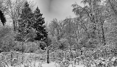 Snowed In (flashfix) Tags: january042017 2017 2017inphotos nikond7000 nikon ottawa ontario canada 55mm300mm landscape snow nature mothernature trees winter monochrome blackandwhite lines fence freshsnowfall merbleue couldajackalopebehiddeninthesnow branches winterscape snowyjackalope