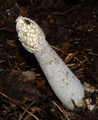Stinkhorn (Phallus impudicus) (SteveInLeighton's Photos) Tags: 2010 september bedfordshire stockgrove england heathandreach beds leightonbuzzard fungus fungi stinkhorn rushmere