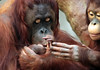 orangutan Lea Changi and baby Krefeld JN6A1001 (j.a.kok) Tags: orangutan orangoetan orang mensaap primaat primate lea changi krefeld aap ape monkey azie asia borneo