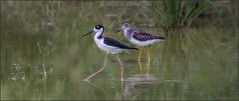 6929-  Walk This Way.................. (canuckguyinadarkroom) Tags: sandpiper stilt blackneckedstilt birds cuba holguin