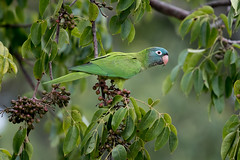 Pretty Paulie (Melis J) Tags: bird bluecrownedparakeet florida thectocercusacuticaudatus bluecrownedconure conure parrot exotic southfloridanonnative