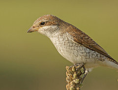Red-backed Shrike - Juvenile (jaytee27) Tags: redbackedshrikejuvenile laniuscollurio tidemillssussex naturethroughthelens