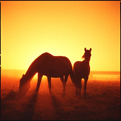 red scale dawn (steve-jack) Tags: hasselblad 501cm 80mm cb lomo redscale film lomography format medium 6x6 hertfordshire 120 horses horse sunrise flextight x5