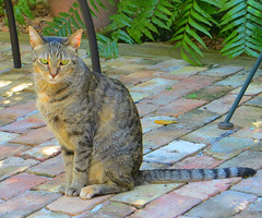 Key West (Florida) Trip 2016 2408Ri 5x6 (edgarandron - Busy!) Tags: coco cat cats kitty kitties tabby tabbies cute feline florida keys floridakeys keywest