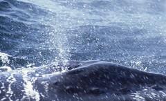 Humpback whale (Megaptera novaeangliae) (SteveInLeighton's Photos) Tags: transparency ektachrome usa whale whalewatch massachusetts america newengland gloucester humpback unitedstates august mammals 1982 blowhole