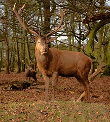 Red Deer Stag, in a brief moment of sunlight, Wollaton Deer Park. 28 01 2017 (pnb511) Tags: red deer wollaton hall deerpark woods woodland tree trees stag antlers