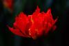 Tulip (Jill-Wang) Tags: tulip fujifilm flower f28 macro 100mm leicar