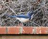 Scrub Jay 8x10 (Todd Battey) Tags: outdoor wildlife bird jay scrubjay westernscrubjay aphelocomacalifornica losangelescounty