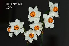 HAPPY NEW YEAR 2017 (Nikos Roditakis) Tags: wishing card happy new year nikos roditakis narcissus tazetta macro