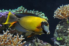 Yellow and black fish (Vee living life to the full) Tags: france french italy italian riviera leger travel touring holiday nikond300 tropical fish aquarium oceanography underwater face porcupine tang blow mouth open eyes turtle swimming sea ocean
